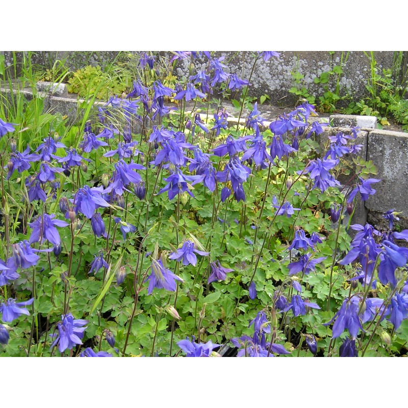 blauetikett aquilegia vulgaris akelei pflanze. Black Bedroom Furniture Sets. Home Design Ideas