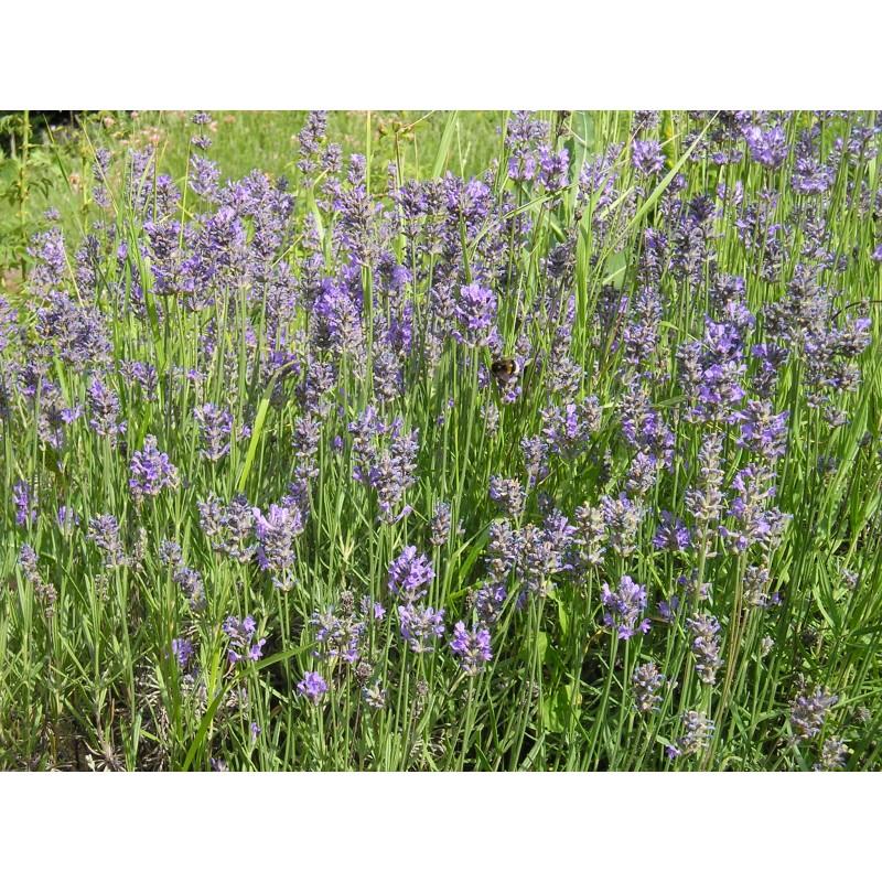 blauetikett lavendel echter 50 pflanzen flachballen dachbegr nung pflanzen bio pflanzen. Black Bedroom Furniture Sets. Home Design Ideas
