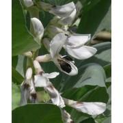 Vicia faba, Ackerbohne   Samen
