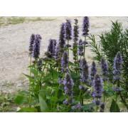 Agastache rugosa, Minz-Agastache  Pflanze