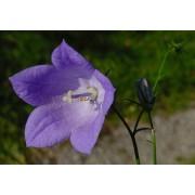 Campanula rotundifolia, Rundblatt-Glockenblume Samen