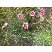Dianthus carthusianorum, Karthäusernelke  Pflanze