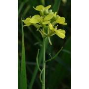 Senf, gelber  Sinapis alba