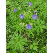 Geranium pratense, Wiesenstorchschnabel  Samen