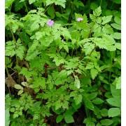 Geranium robertianum, Ruprechtskraut  Samen