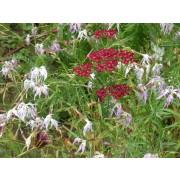 """Achillea millefolium """"Kirschkönigin""""  Pflanze"""