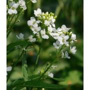 Meerrettich, Armoracia rusticana Pflanze