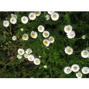 Chamaemelum nobile fl. plena, Röm. Kamille, gefüllt Pflanze