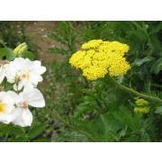 Achillea filipendulina, Goldgarbe Pflanze
