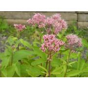 Eupatorium purpureum, Roter Dost  Samen