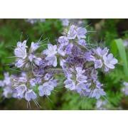 Phacelia tanacetifolia, Phacelie, Bienenfreund
