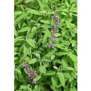 Salbei, Salvia officinalis  Samen