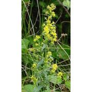 Solidago virgaurea, Echte Goldrute Pflanze