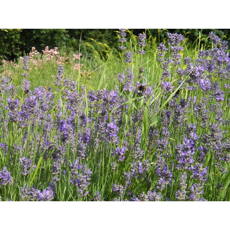 blauetikett lavandula angustifolia echter lavendel. Black Bedroom Furniture Sets. Home Design Ideas