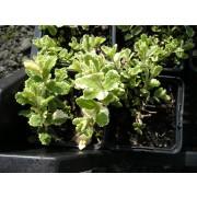 Mentha suaveolens, Ananasminze Pflanze