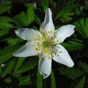 Anemone nemorosa, Buschwindröschen  Samen