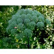 Angelica silvestris, Wald-Engelwurz Samen