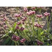 Antennaria dioica Katzenpfötchen  Pflanze