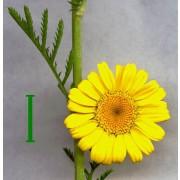 Anthemis tinctoria, Färberkamille  Samen