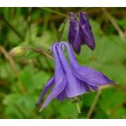 Aquilegia vulgaris, Akelei  Pflanze
