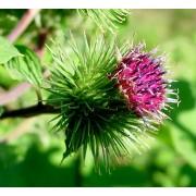 Große Klette, Arctium lappa Samen