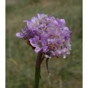 Armeria maritima, Grasnelke  Pflanze