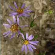 Aster amellus, Bergaster  Pflanze