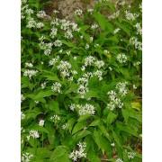 Bärlauch, Wilder Knoblauch, Allium ursinum  Samen