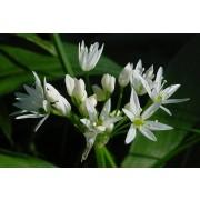 Allium ursinum, Bärlauch  Samen