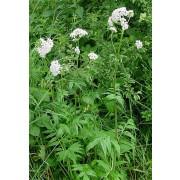 Valeriana officinalis, Baldrian  Pflanze