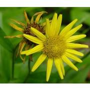 Buphtalmum salicifolium, Goldmargarite Pflanze