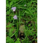 Campanula rotundifolia, Rundblättrige Glockenblume Pflanze