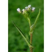 Hirtentäschel, Capsella bursa pastoris  Samen