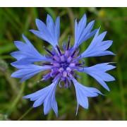 Centaurea cyanus, Kornblume  Samen