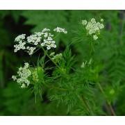 Kerbelrübe, Chaerophyllum bulbosum  Samen