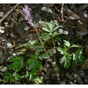 Corydalis cava, Hohler Lerchensporn  Samen