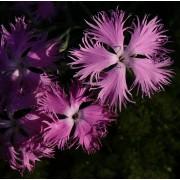 Dianthus superbus, Prachtnelke  Pflanze