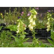 Digitalis lutea, Gelber Fingerhut  Pflanze