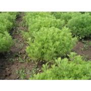 Artemisia abrotanum, Eberraute, Stabwurz  Pflanze