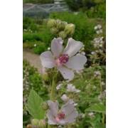 Althaea officinalis, Eibisch  Pflanze