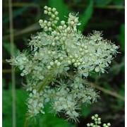 Filipendula ulmaria, Mädesüß Pflanze