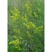 Galium verum, Labkraut   Pflanze