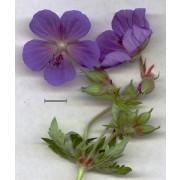 Geranium pratense, Wiesenstorchschnabel Pflanze