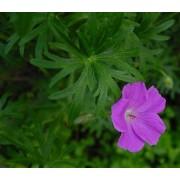 Geranium sanguineum, Blutstorchschnabel  Pflanze