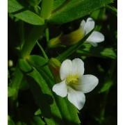 Gratiola officinalis, Gottesgnadenkraut Pflanze