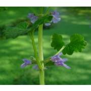 Glechoma hederacea, Gundermann Samen