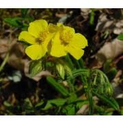 Helianthemum nummularium, Sonnenröschen Pflanze