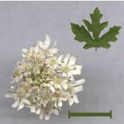 Wiesenbärenklau, Heracleum sphondyllium Samen