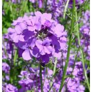 Hesperis matronalis, Nachtviole  Samen