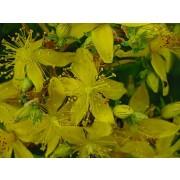 Hypericum perforatum, Johanniskraut  Pflanze